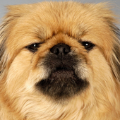 Dogs in the Photostudios Wallp icon