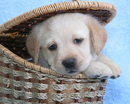 Wallpaper Theme Best Dogs apk screenshot