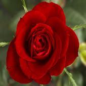 Petals Around the Rose icon