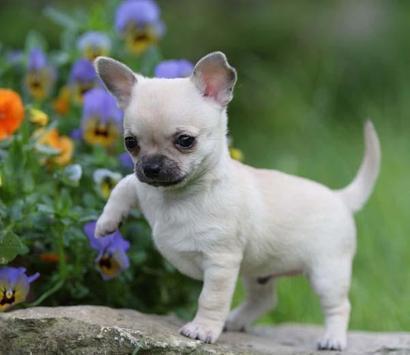 Chihuahuas HQ Pictures screenshot 1