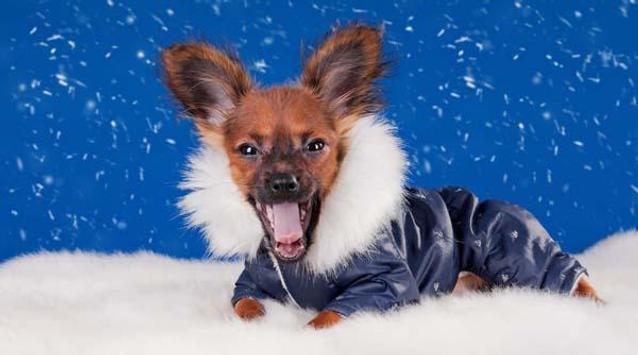 Chihuahuas HQ Pictures apk screenshot