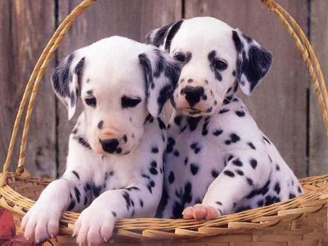 Dalmatians Images screenshot 3