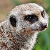 meerkat live wallpaper icon