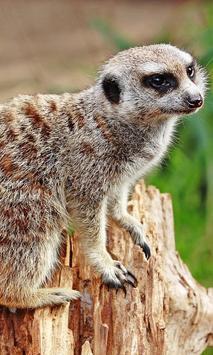meerkat live wallpaper poster