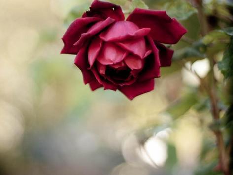 Rose Wallpapers screenshot 9