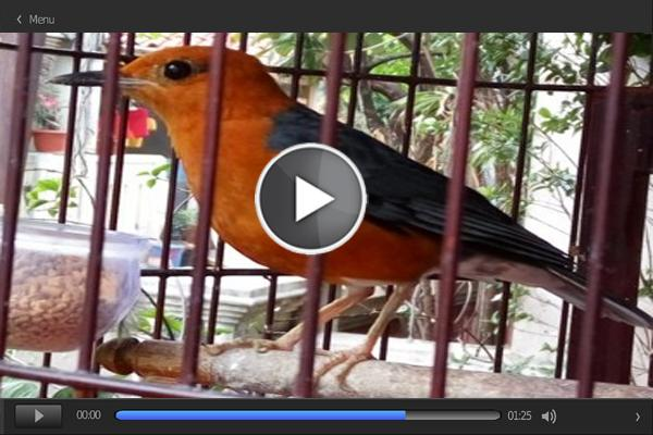 Master Birdsong Anis Merah For Android Apk Download