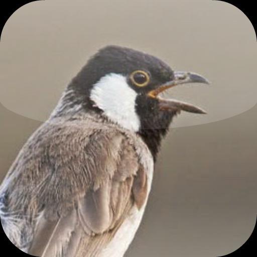 Suara Burung Kutilang For Android Apk Download