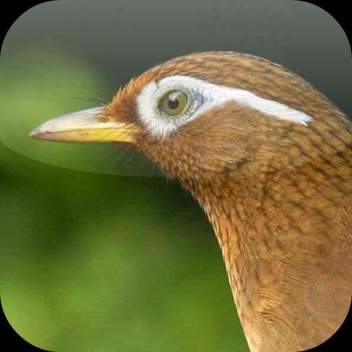 Suara Burung Wambi For Android Apk Download