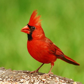 Birds Sound (2017-2018) icon