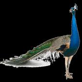 Peafowl (Peacock) Widget icon