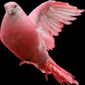 Pigeon Widget for LOVE icon