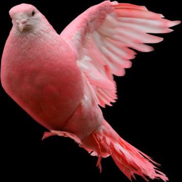Pigeon Widget for LOVE apk screenshot