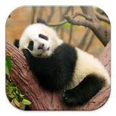 Lazy Panda Live Wallpapers icon