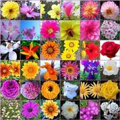 Flores icon