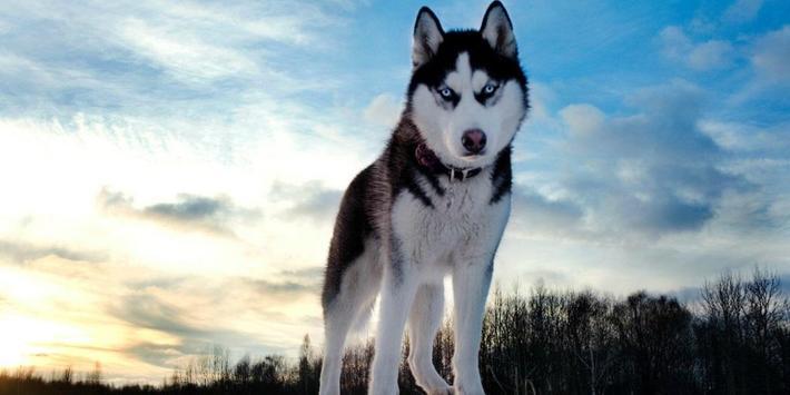 Husky Dogs Live Wallpaper screenshot 1