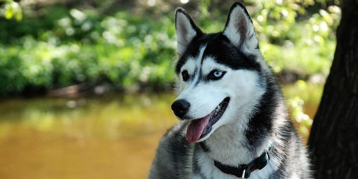 Husky Dogs Live Wallpaper screenshot 5