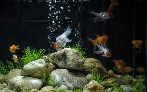 Goldfish Live Wallpaper Pro apk screenshot