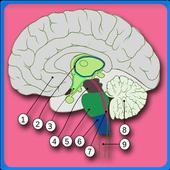 Anatomy Of The Human Brain icon