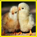 Chick memori permainan APK