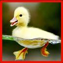 Petit canard Jeu de mémoire APK