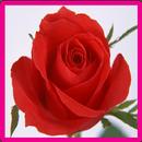 Rose memori permainan APK