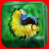 Betta fish lovely icon
