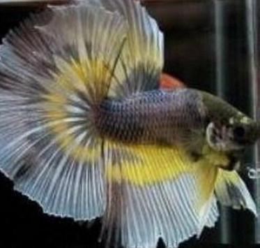 Betta fish lovely apk screenshot
