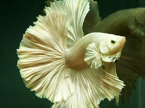 5100 Gambar Ikan Cupang Hias Tercantik Terbaik