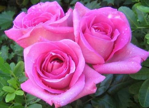 Bunga Mawar Yang Indah For Android Apk Download
