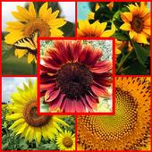 type sunflower icon