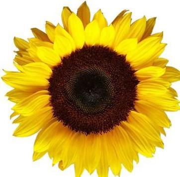 type sunflower poster