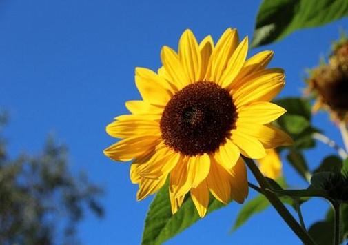 type sunflower apk screenshot