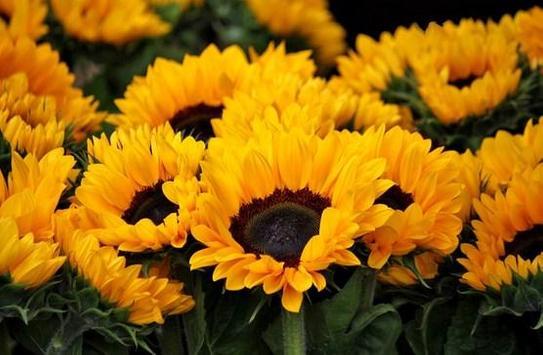 type sunflower screenshot 11