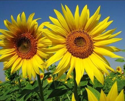 type sunflower screenshot 2
