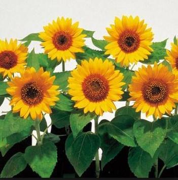 type sunflower screenshot 4