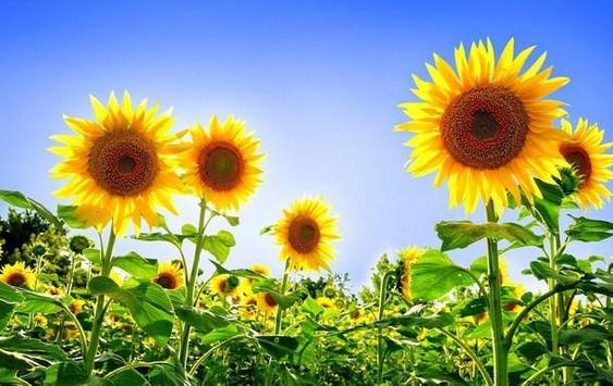 type sunflower screenshot 5