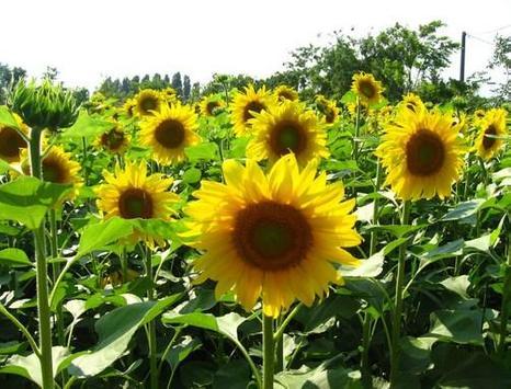 type sunflower screenshot 6