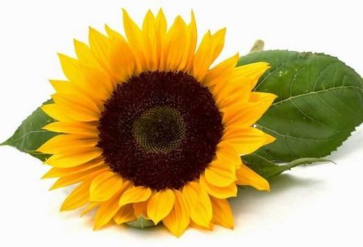 type sunflower screenshot 7
