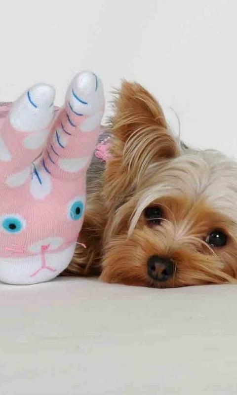 Yorkshire Terrier Dogs Nouveaux Fonds D Ecran Pour Android
