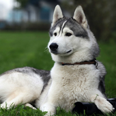 Husky HD Live Wallpaper icon