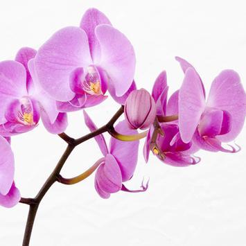Orchids HD Live Wallpaper screenshot 5