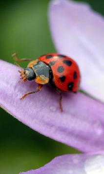 Ladybug HD Live Wallpaper screenshot 3