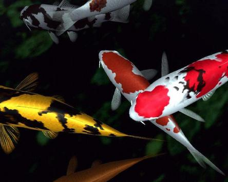 Aquarium koi fish live wallpaper backgrounds for android for Carpe koi aquarium 300 litres