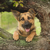 German Shepherds New Wallpapers Themes icon