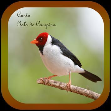 Canto Galo de Campina apk screenshot