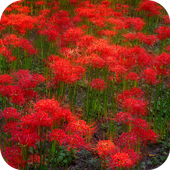 Red Flowers Live Wallpaper icon