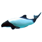 Dolphin Commerson's Sticker icon