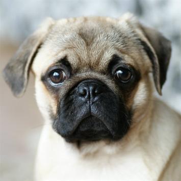 Its a Pug life poster