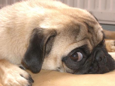 Its a Pug life screenshot 2