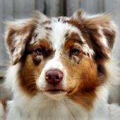 australian shepherd dogs icon